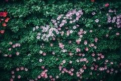 Mooie petuniabloemen in de tuin in de Lentetijd stock foto's