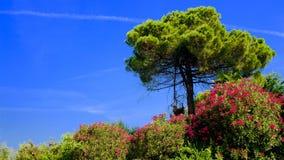 Mooie pijnboom en bloeiende oleanders in Italië stock fotografie