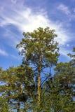 Mooie pijnboom, spar, blauwe hemel wolk Knippend inbegrepen weg Stock Afbeeldingen
