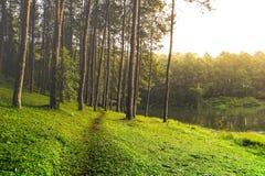 Mooie pijnboombomen op het nationale park van Pang Ung Stock Fotografie