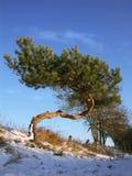 Mooie pijnboomboom - natuurlijke bonsai Stock Afbeeldingen