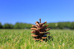 Mooie pinecone Royalty-vrije Stock Foto