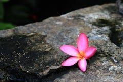 Mooie Ping Plumeria flawer Stock Afbeelding