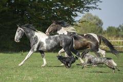 Mooie pinto paarden bij galop met honden Royalty-vrije Stock Afbeeldingen