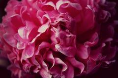 Mooie pioen Royalty-vrije Stock Fotografie