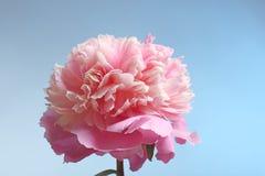 Mooie pioenbloem op kleurenachtergrond, Stock Afbeelding