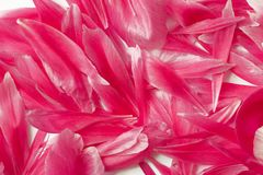 Mooie pioenbloemblaadjes Stock Foto