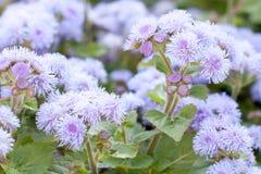Mooie pluizige blauwe bloemen van ageratum stock afbeelding