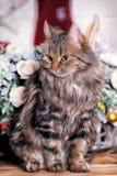 Mooie pluizige bruine gestreepte kat Stock Fotografie