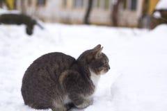 Mooie pluizige grijze kat in sneeuw Stock Foto's