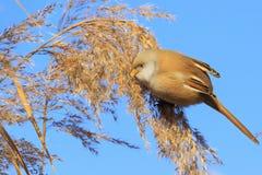 Mooie pluizige vogelzitting op een riet royalty-vrije stock foto's