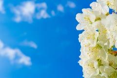 Mooie plumeria witte bloemen Stock Afbeelding