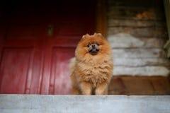 Mooie Pomeranian-hond Ernstige hond dichtbij deur Leuke hond stock fotografie