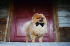 Mooie Pomeranian-hond Ernstige hond dichtbij deur Leuke hond Stock Foto's