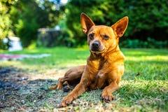 Mooie pomeranian puppyhond op het gras royalty-vrije stock afbeelding