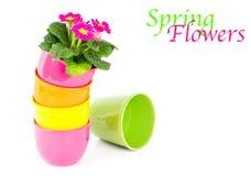 Mooie primulabloemen in kleurrijke emmers Royalty-vrije Stock Afbeeldingen