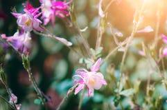 Mooie pumilum van bloemepiphyllum, close-up Het stemmen, zonlicht royalty-vrije stock afbeelding