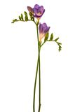 Mooie purpere bloem royalty-vrije stock afbeeldingen