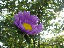 Mooie purpere bloem in de tuin Royalty-vrije Stock Afbeelding