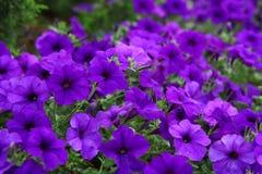 Mooie purpere bloemen Stock Afbeeldingen