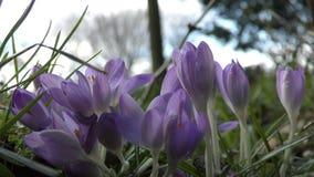 Mooie purpere bloemen stock videobeelden
