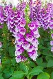 Mooie purpere bloemen bij tuin Stock Foto