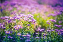 Mooie purpere bloemen, natuurlijke de zomerachtergrond, vaag beeld Inspirational aardconcept stock afbeeldingen