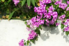 Mooie purpere Bougainvilleabloemen Royalty-vrije Stock Foto's