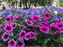 Mooie purpere en blauwe bloemen in de park macromening, bloemachtergrond stock fotografie