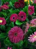 Mooie purpere gerberas in potten op de markt stock foto's