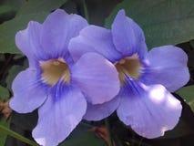 Mooie purpere grandiflora thunbergia Royalty-vrije Stock Afbeelding