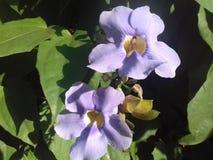 Mooie purpere grandiflora thunbergia Royalty-vrije Stock Afbeeldingen