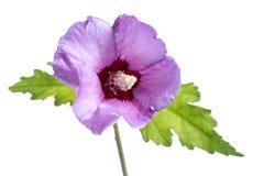Mooie purpere hibiscusbloem met groene bladeren op witte achtergrond Stock Fotografie