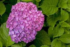 Mooie Purpere Hydrangea hortensia Stock Foto's