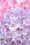 Mooie Purpere Hydrangea hortensiabloemen Royalty-vrije Stock Afbeeldingen
