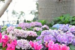 Mooie purpere hydrangea hortensiabloemen in de tuin stock fotografie