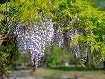 Mooie purpere lilac bloemen die op boom in openlucht hangen stock afbeelding