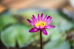 Mooie purpere lotusbloembloem, Royalty-vrije Stock Afbeeldingen