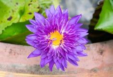Mooie purpere lotusbloembloem op de waterspiegel Royalty-vrije Stock Foto
