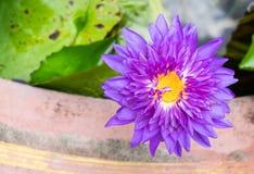 Mooie purpere lotusbloembloem op de waterspiegel Stock Afbeelding