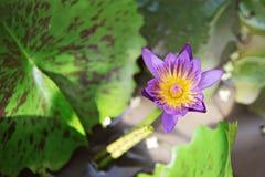Mooie purpere lotusbloembloem of waterlelie die op vijver bloeien Stock Fotografie
