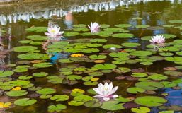 Mooie purpere lotusbloembloemen onder groene installaties op een vijver stock fotografie