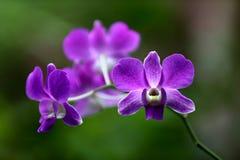 Mooie purpere orchideeën Stock Afbeeldingen