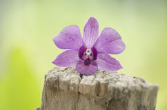 Mooie purpere orchideeën op een boomstomp in de aard Royalty-vrije Stock Foto's