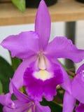 Mooie Purpere Orchidee Royalty-vrije Stock Afbeelding