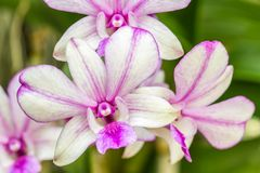 Mooie purpere orchidee, Dendrobium Stock Afbeelding