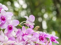 Mooie purpere orchidee, Dendrobium Stock Foto