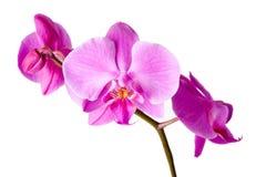 Mooie Purpere Orchidee stock foto