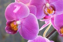 Mooie purpere orchidee - phalaenopsis stock foto