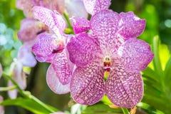 Mooie Purpere Orchidee, Vanda Stock Foto